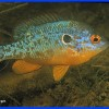 Banded Sunfish Question? - last post by juhason