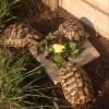 1St Time My Tortoises Have Mated - last post by Beermat89