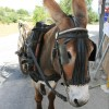 mere de la mule
