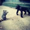 fanfan raccoon