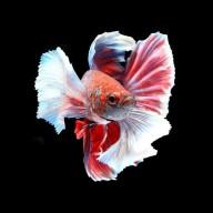 ikancupangku1