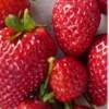 fraisynath