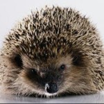 Profile picture of hedgehog