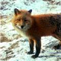 pappinbarra foxette