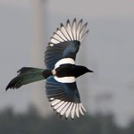 Profile picture of Magpie