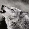 Rapidwolf - zdjęcie