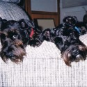 two schnauzers's Photo