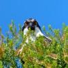 Tri-colored Blackbird? - last post by PapaD