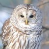 Barred Owl - last post by BirdingBlues