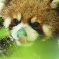 Profile picture of redpandanat