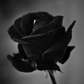 &Dreamcatcher Rose aka Rose Roku