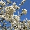 Odile des Cerisiers