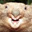 Sarcastic Wombat