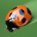 Profile picture of Coccinelle