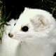 ermine