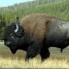 le Bison
