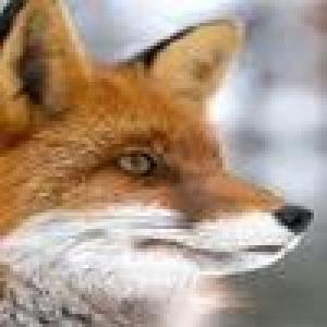 Avatar of ChiffaFox