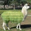 That Llama