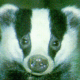 Badger O Stripey One&#039;s picture