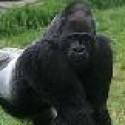 Gorilla's Photo