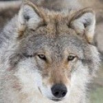 Profile picture of steppen wolf