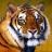 Rare_Tiger