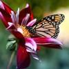 ladybutterfly