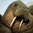 Unavailable Walrus
