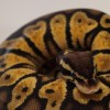 1.0 spider yellow belly ball python..!! - last post by kostas ksenia