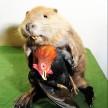 cock stealing beaver