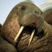 Doctor Walrus