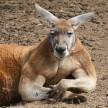 Kangaroo Jacked