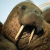 Image of tehwalrus
