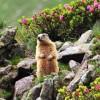 la marmotte bretonne