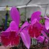 Ophrys Araignée - dernier message par dryas