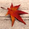 prunus mahaleb - dernier message par petit-arbre