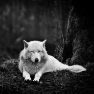 zilothewolf