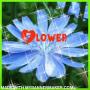 Flower Mae