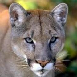 Anthro Cougar Freeimagescom