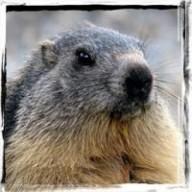 marmottin