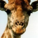 giraffee's avatar