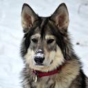 Kivak Wolf