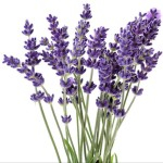 Profile picture of Lavender