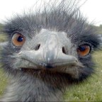 Avatar de avestruz