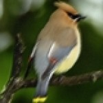 Profile picture of cedarwaxwing
