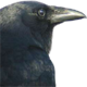 Profile picture of crowspeaker