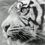 الصورة الرمزية مخلب النمر