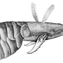 flea whale