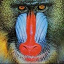 the_mandrill