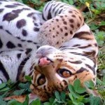 Profile picture of Ocelot0526